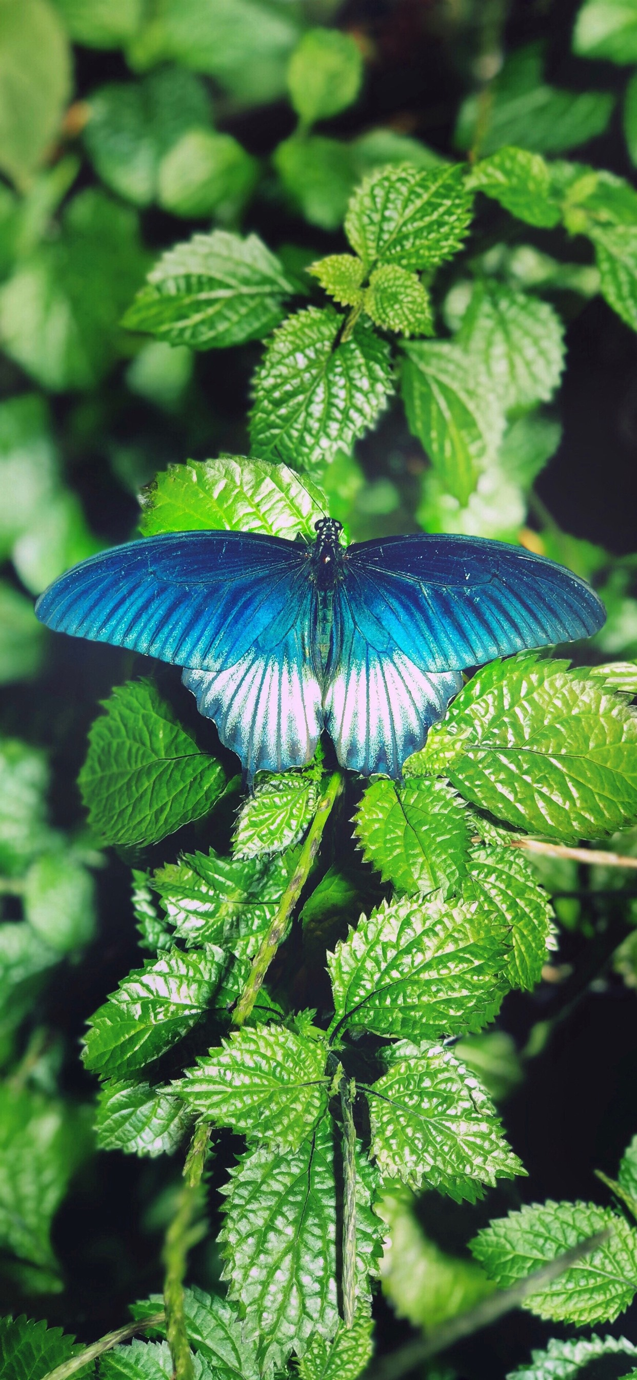 Green Leaves Blue Butterfly 1242x2688 Iphone 11 Pro Xs Max Wallpaper Background Picture Image
