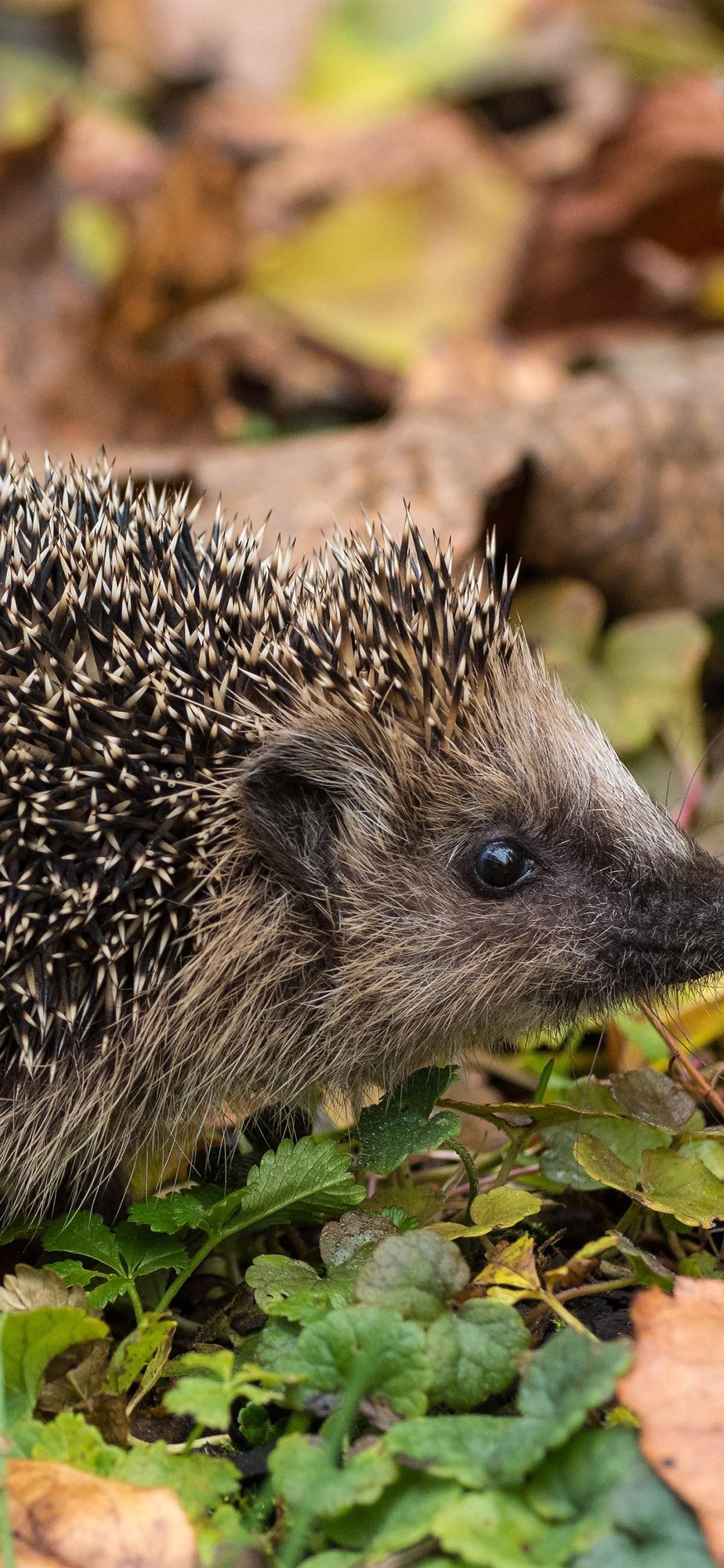 hedgehog many needles ground leaves 1242x2688 iphone xs