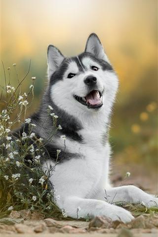iPhone Papéis de Parede Cão Husky, flores brancas