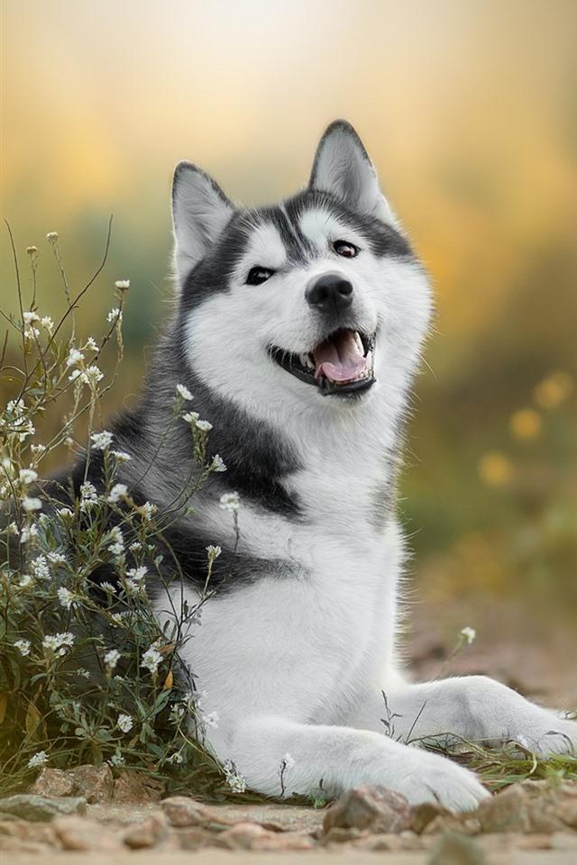 husky dog white little flowers
