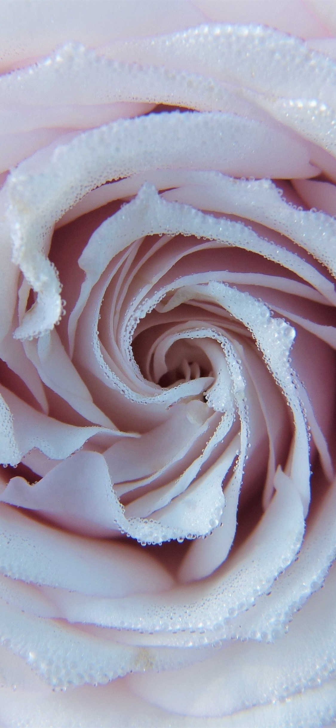 Light Pink Rose Many Water Droplets 1125x2436 Iphone 11 Pro Xs X Wallpaper Background Picture Image