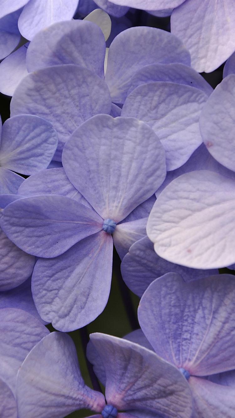 Fonds d\'écran Hortensia violet clair, nombreuses fleurs ...