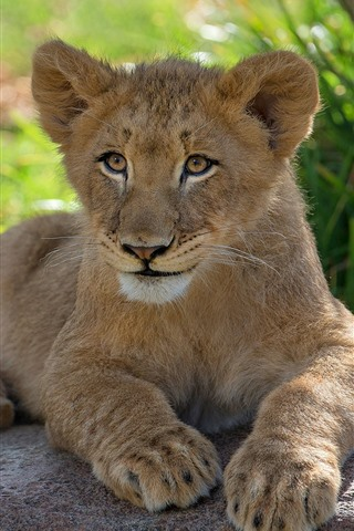 iPhone Wallpaper Lion cub, stay, rest