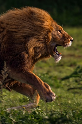 iPhone Wallpaper Lion running, speed