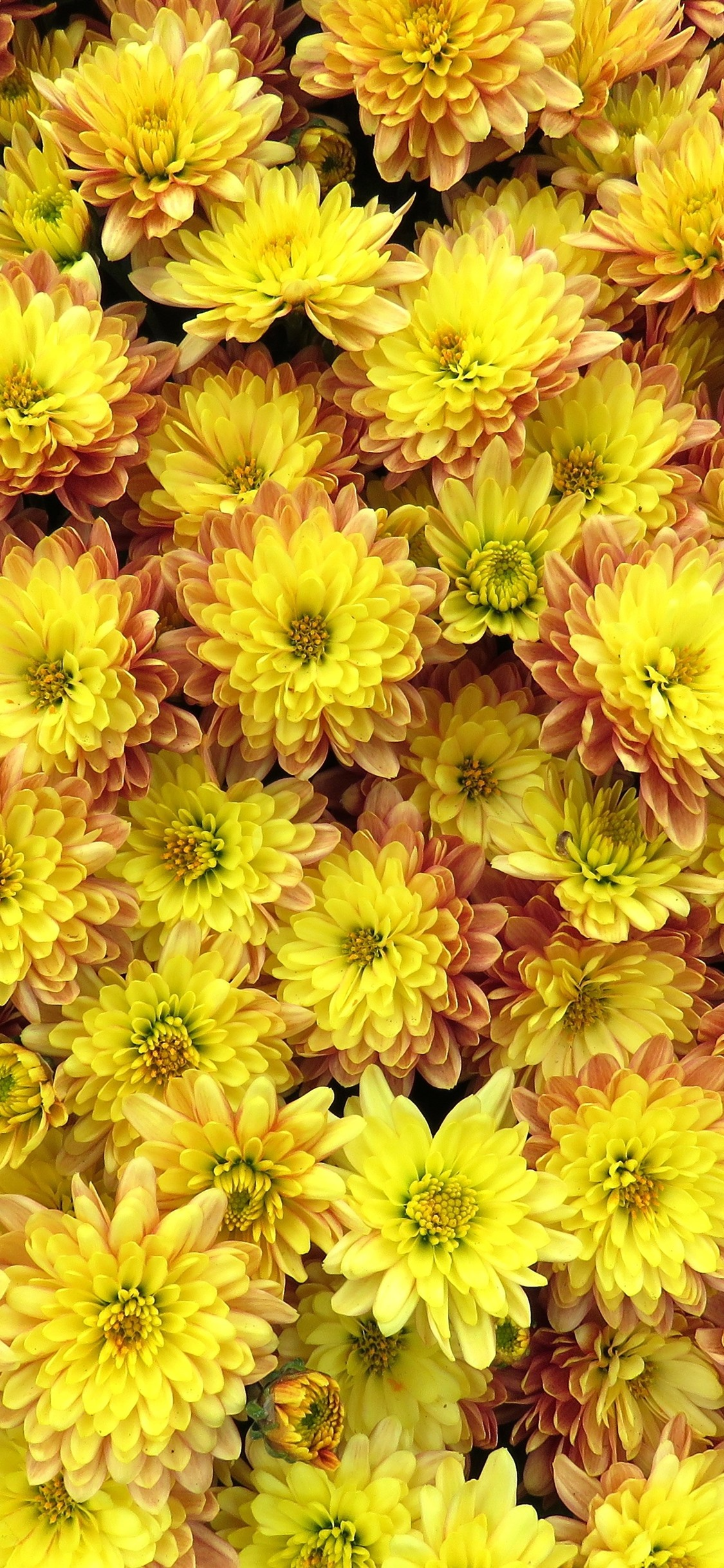 Many Yellow Flowers Dahlia 1242x2688 Iphone 11 Pro Xs Max Wallpaper Background Picture Image