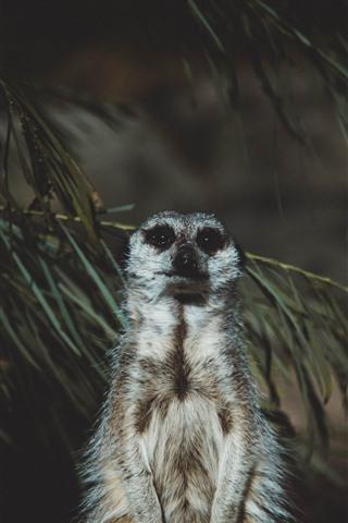iPhone Wallpaper Meerkat, standing, darkness