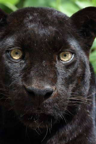 iPhone Wallpaper Panther, black leopard, face, front view