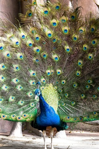 iPhone Wallpaper Peacock, tail, green feathers