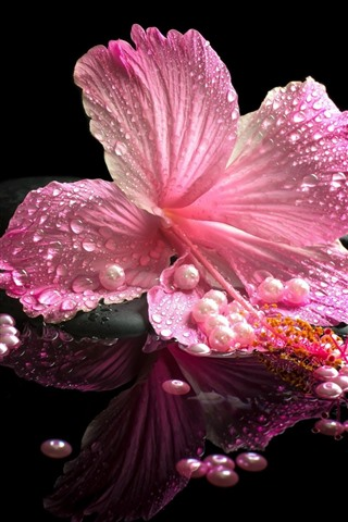iPhone Wallpaper Pink hibiscus, petals, water droplets, stones, SPA