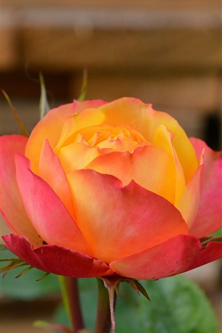 iPhone Wallpaper Pink orange color petals roses