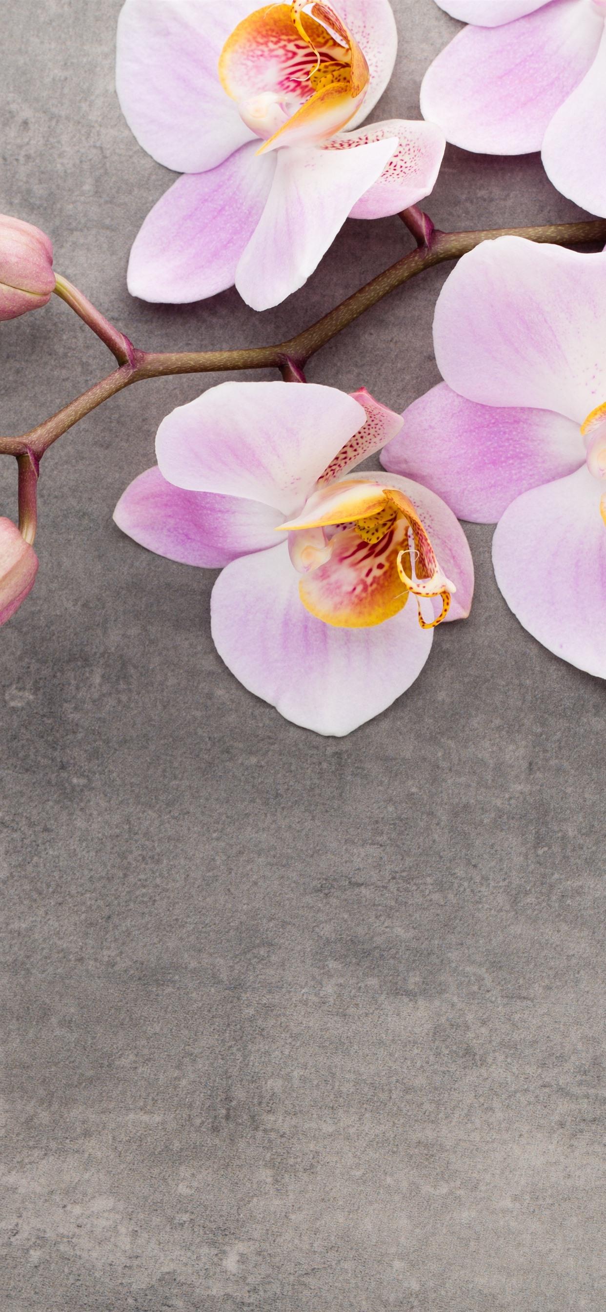 Rosa Phalaenopsis Blumen Nahaufnahme 1242x2688 Iphone Xs