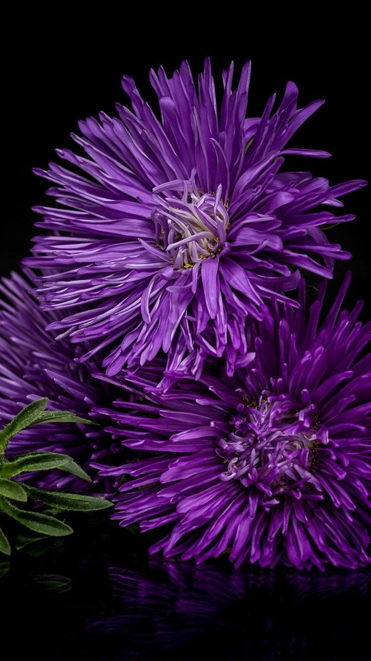 紫の花 アスター 黒の背景 750x1334 Iphone 8 7 6 6s 壁紙 背景 画像