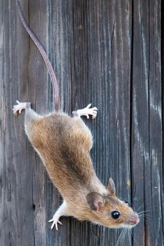 iPhone Wallpaper Rat, wood board