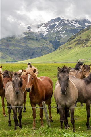 iPhone Wallpaper Some horses, grassland