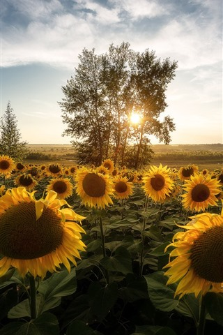iPhone Wallpaper Sunflowers, trees, morning, sun rays