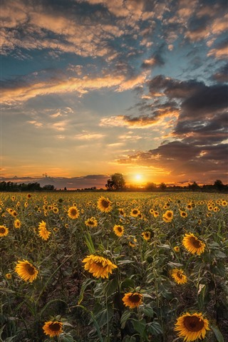 iPhone Wallpaper Sunflowers, trees, sunset, sky