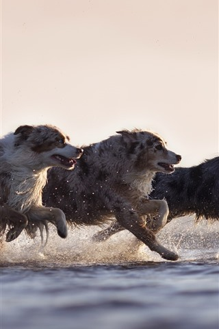 iPhone Wallpaper Three dogs running, speed, water, splash