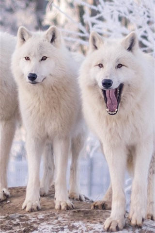 iPhone Wallpaper Three white wolves, winter, snow