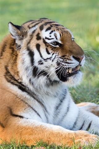 iPhone Wallpaper Tiger rest, teeth, whisker, grass