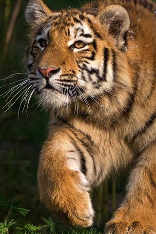 iPhone Wallpaper Tiger walk, forest, grass