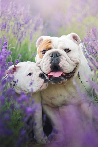 iPhone Wallpaper Two bulldogs, lavender flowers