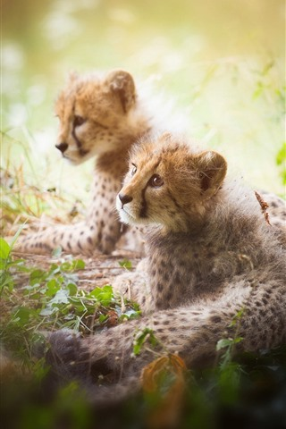 iPhone Wallpaper Two cheetah cubs, hazy