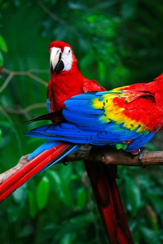 iPhone Wallpaper Two macaws, parrots, colorful feathers