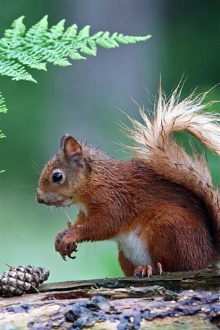 iPhone Wallpaper Wet squirrel, fern leaves