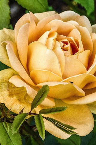 iPhone Wallpaper Yellow rose close-up, flowers