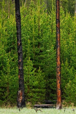 iPhone Wallpaper Yellowstone National Park, forest, pine trees, Wyoming, USA