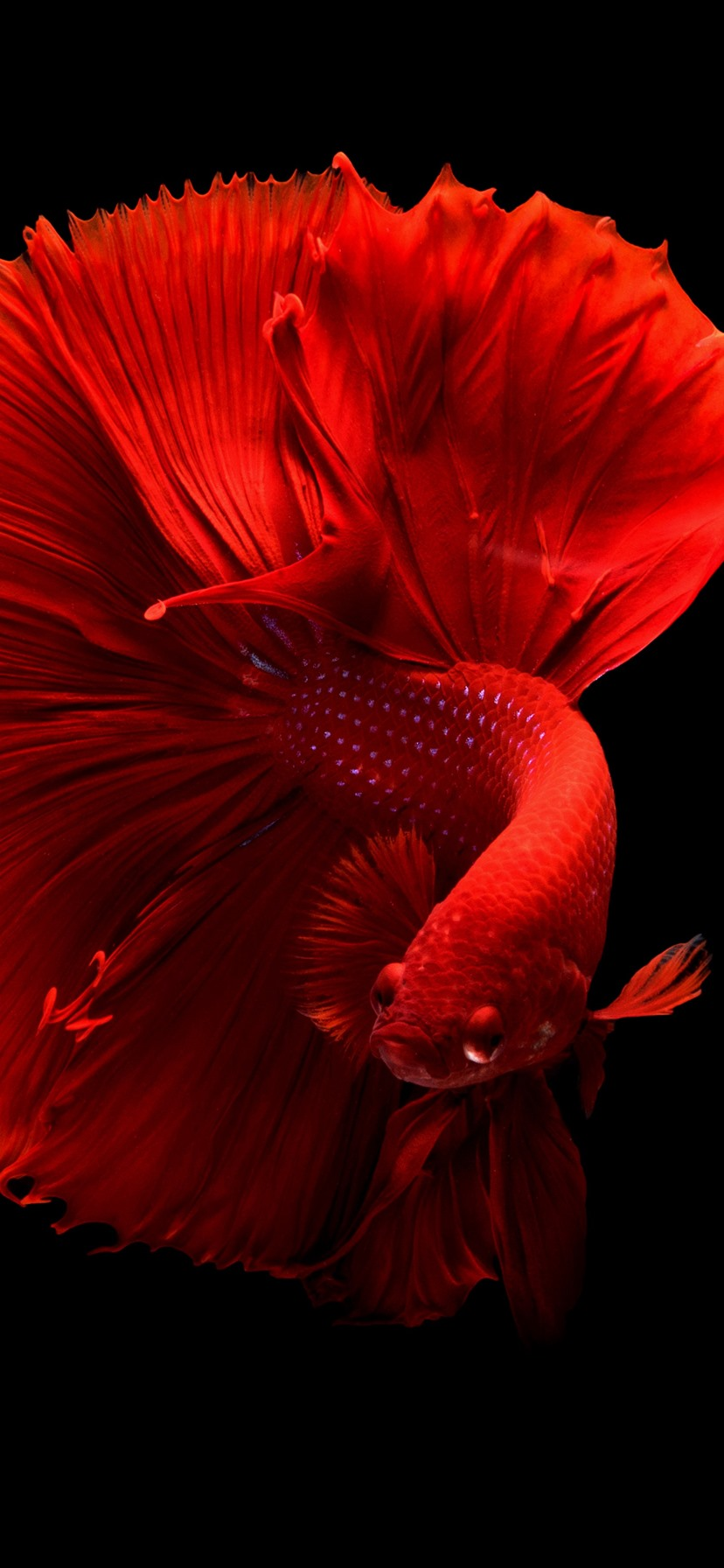 Beautiful Red Fish Tail Black Background 1242x2688 Iphone 11 Pro Xs Max Wallpaper Background Picture Image