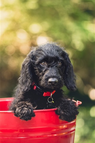 iPhone Wallpaper Black puppy, red bucket