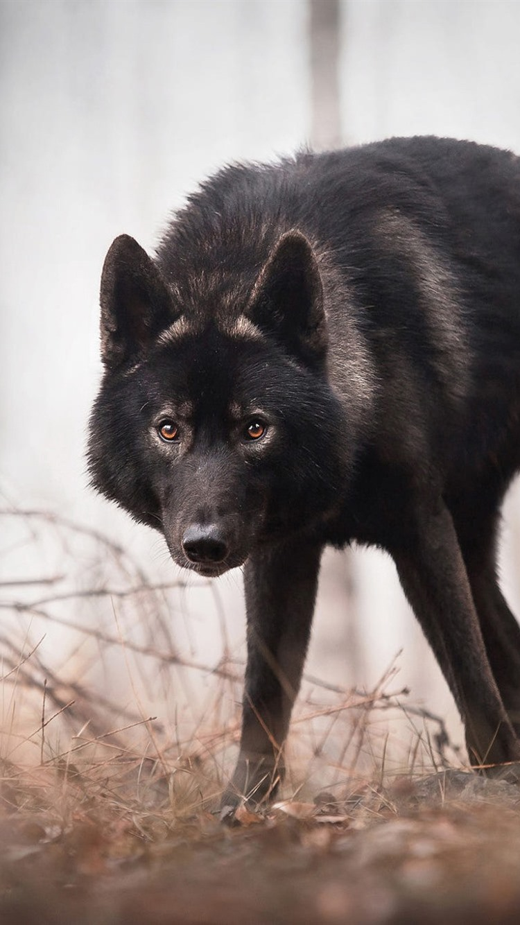 Black Wolf Look At You Forest 750x1334 Iphone 8 7 6 6s Wallpaper