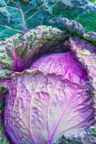 iPhone Wallpaper Cabbage, green and purple, vegetable