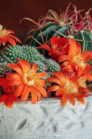 iPhone Wallpaper Cactus, orange flowers