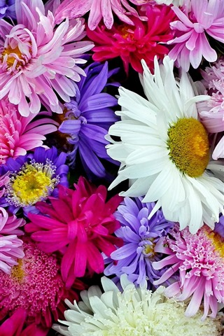 iPhone Wallpaper Chrysanthemum, colorful flowers background