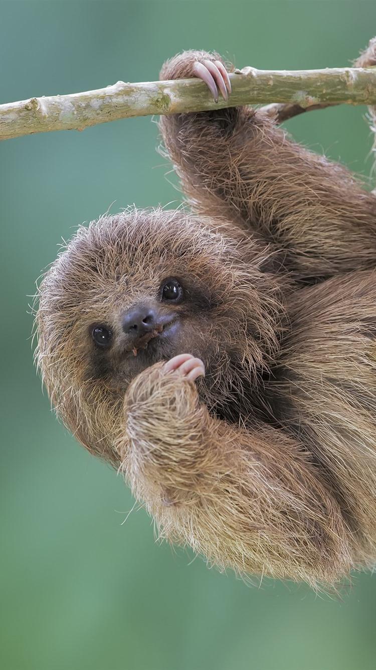 Cute animal sloth 750x1334 iphone 8 7 6 6s wallpaper - Sloth wallpaper phone ...