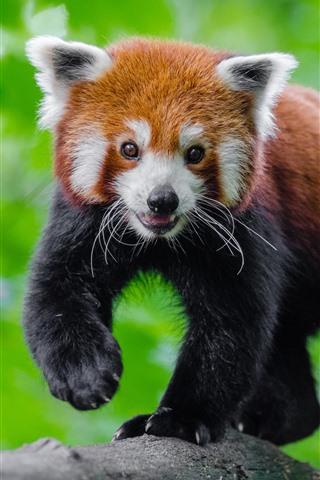 iPhone Wallpaper Cute red panda, green background