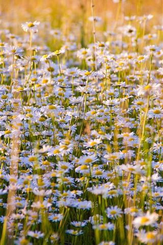 iPhone Wallpaper Daisies flowers field