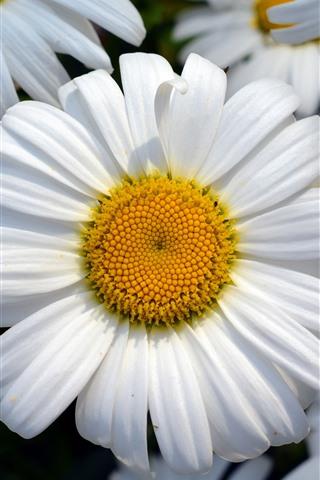 iPhone Wallpaper Daisy, flowers, white petals