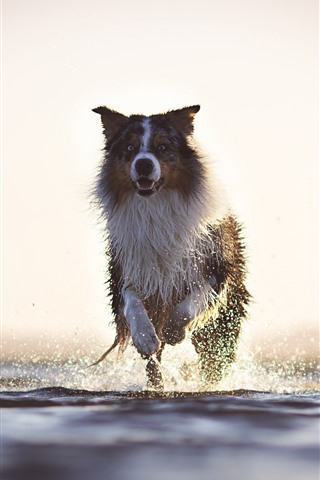 iPhone Wallpaper Dog running, water splash