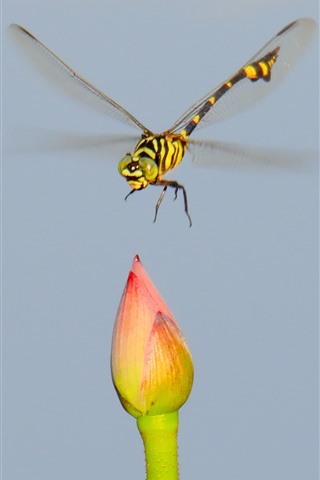iPhone Wallpaper Dragonfly and lotus bud