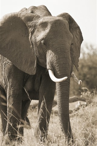 iPhone Wallpaper Elephant, family, tusk, grass