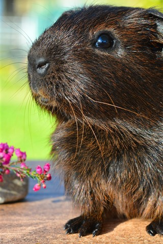 iPhone Wallpaper Guinea pig, cute pet