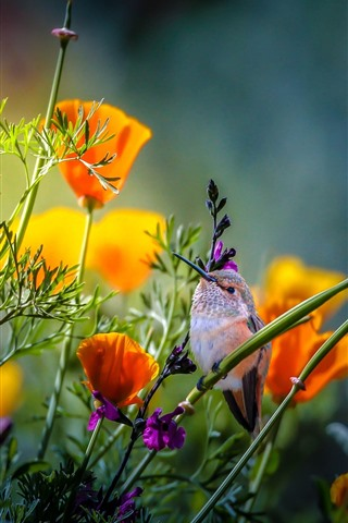 iPhone Wallpaper Hummingbird, orange poppies