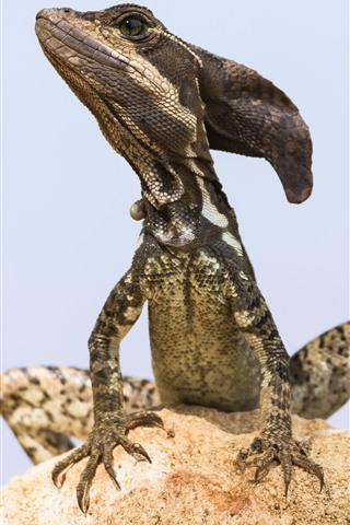 iPhone Wallpaper Jesus Christ Lizard, Basiliscus