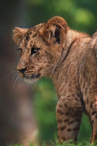 iPhone Wallpaper Lion cub look back, tail