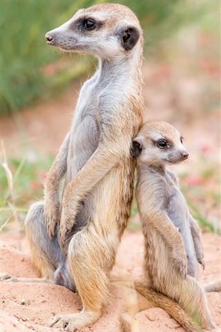 iPhone Wallpaper Meerkats, family, wildlife