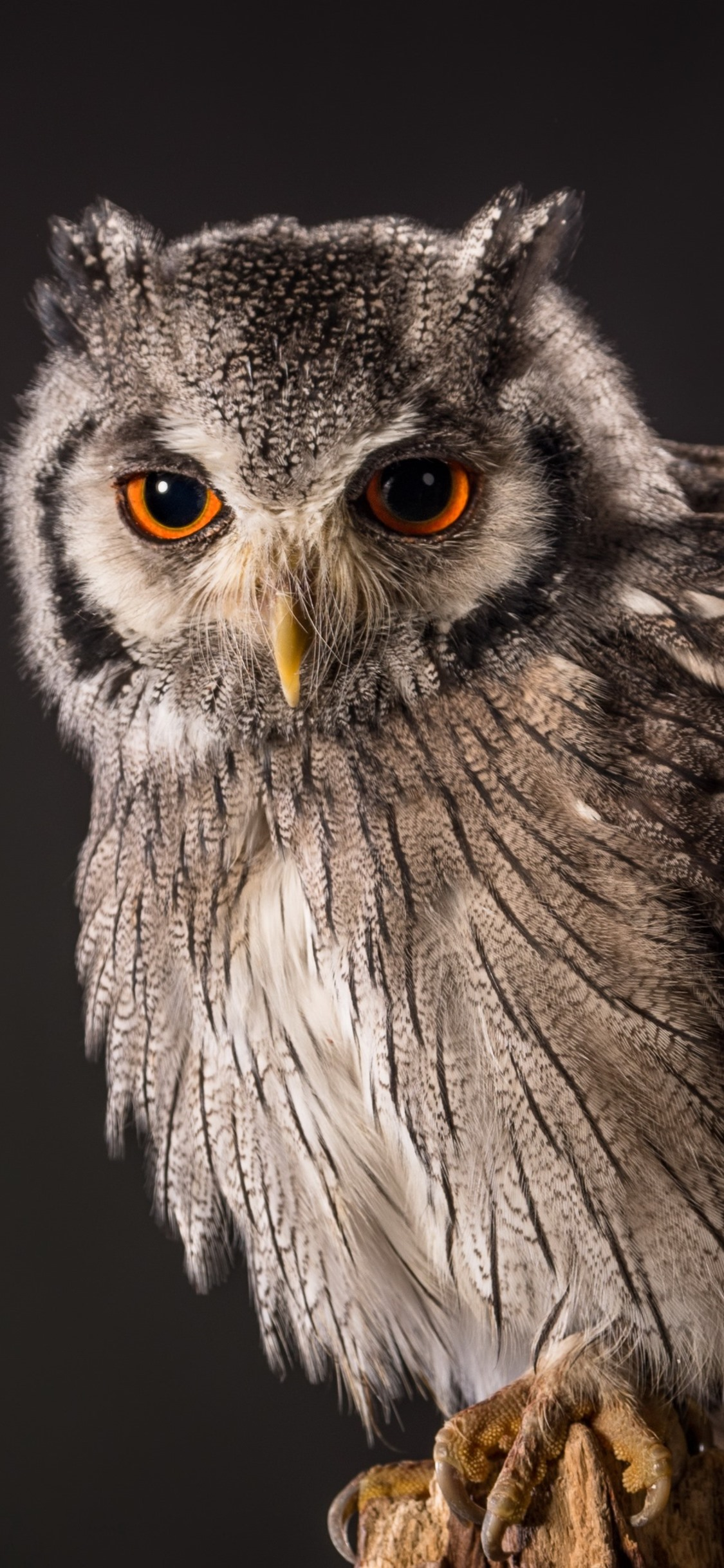 Owl Gray Background 1125x2436 Iphone 11 Pro Xs X Wallpaper Background Picture Image