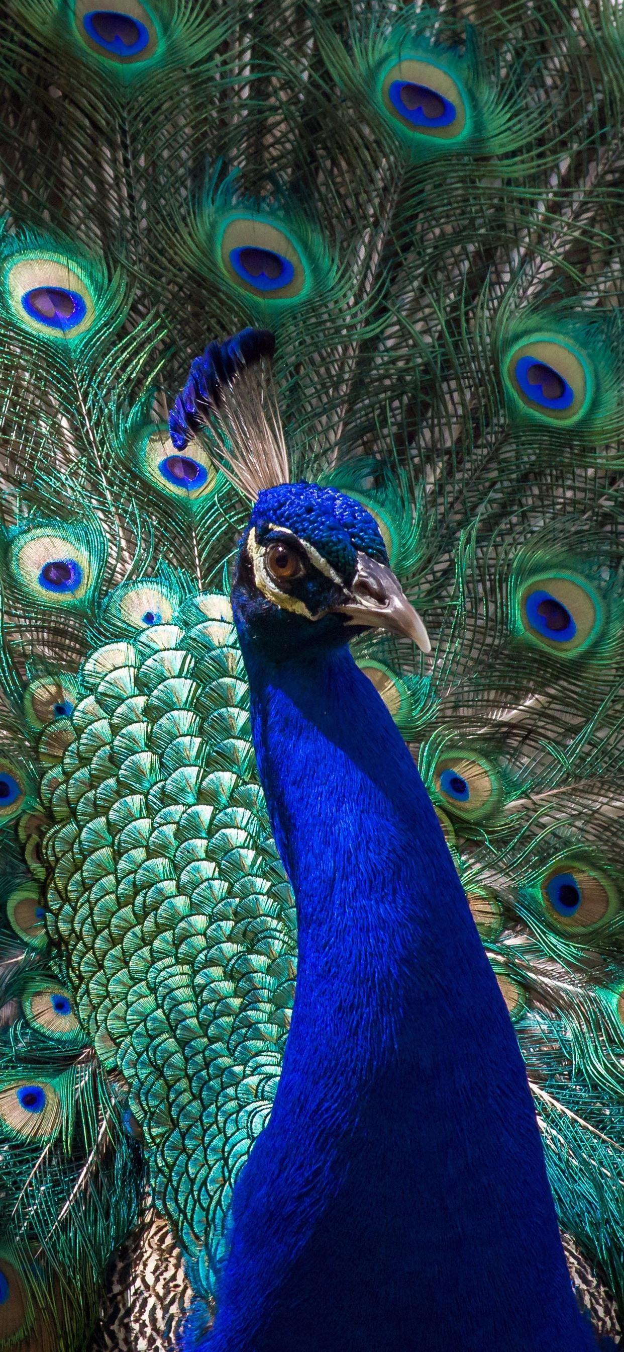 Peacock Open Tail Beautiful Feathers Bird 1242x2688 Iphone